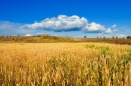 golden-wheat-field-1354390133xGa