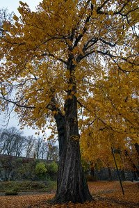 https://commons.wikimedia.org/wiki/File:Beautiful_tree_at_Akershus_Fortress_(Akershus_Festning)_(29252416734).jpg