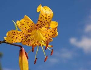 lily_lilium_'citronella'_flower